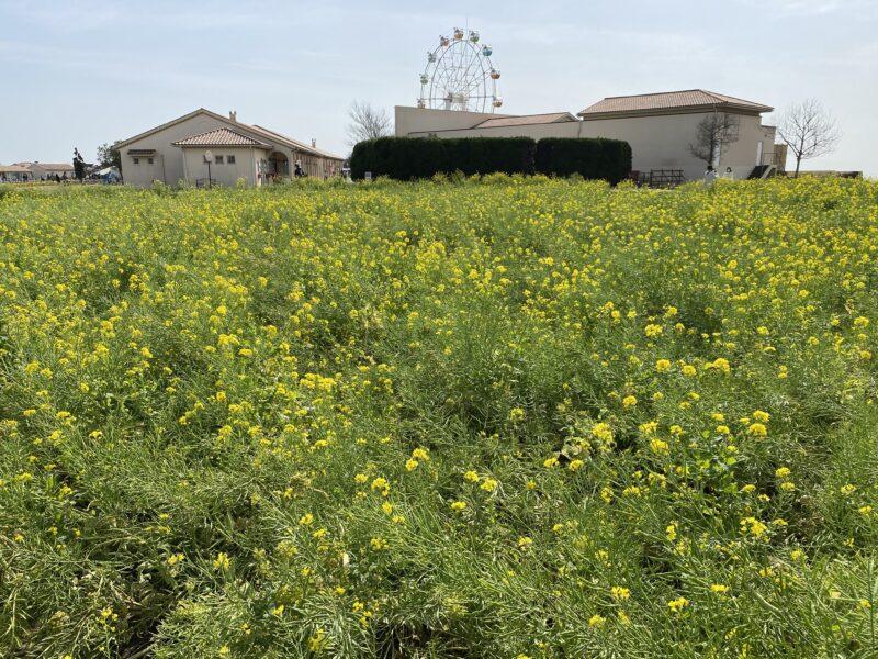 ソレイユの丘菜の花